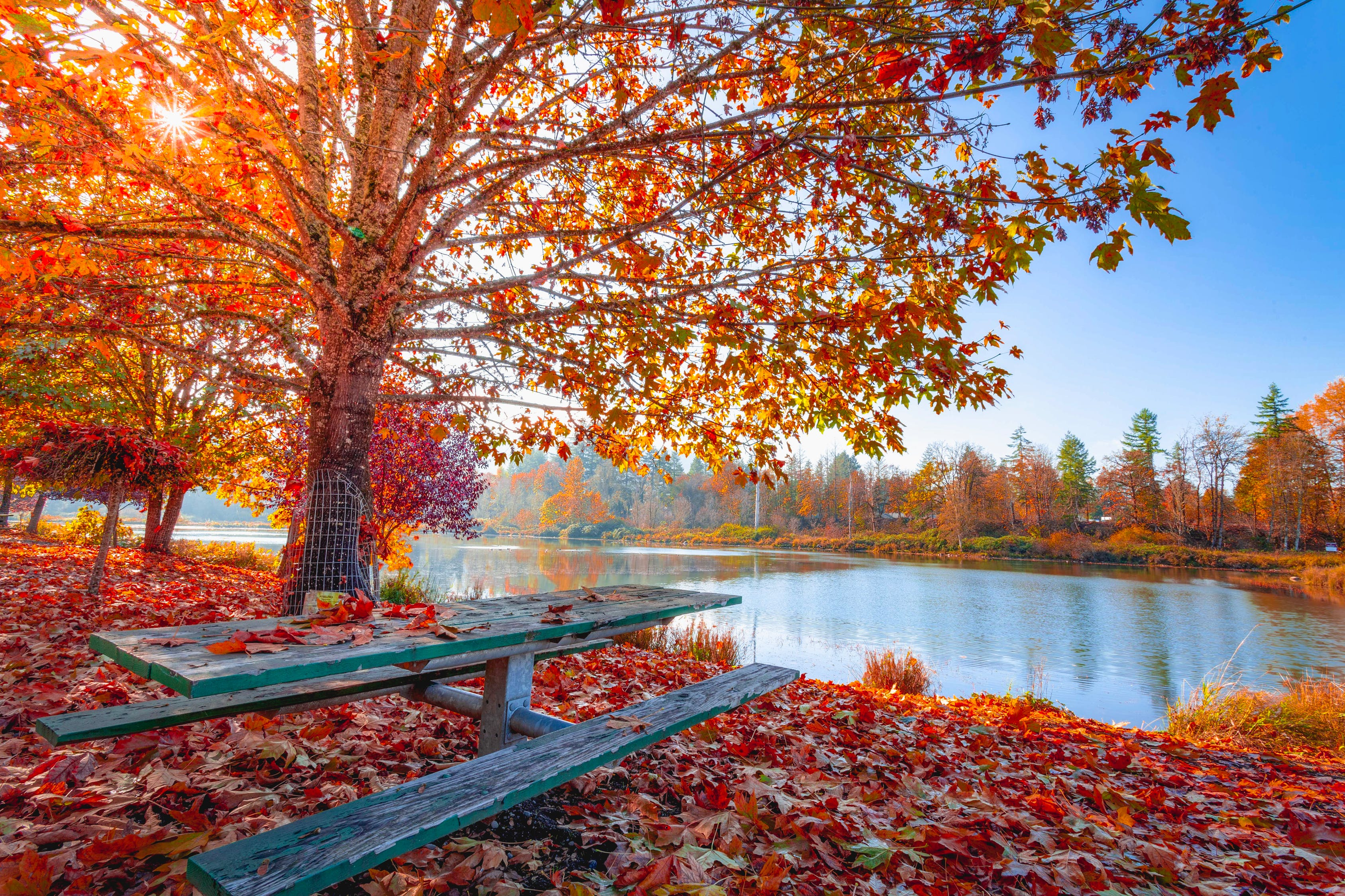 Colorful, red leaves on tree and covering the ground near a lake with a wooden picnic table.