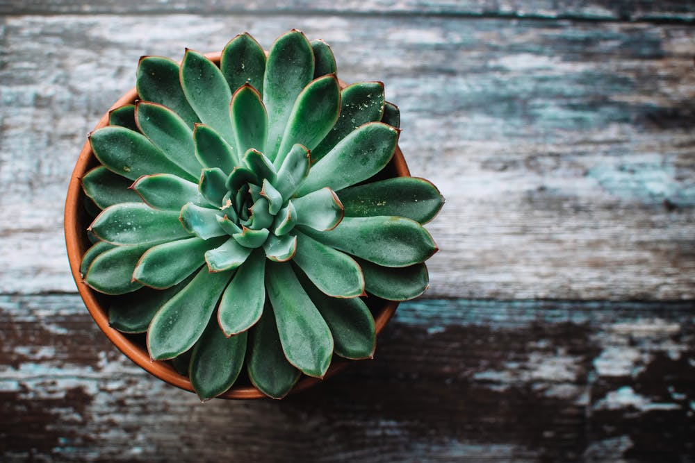 View from above a succulent plant in a terra cotta planter.
