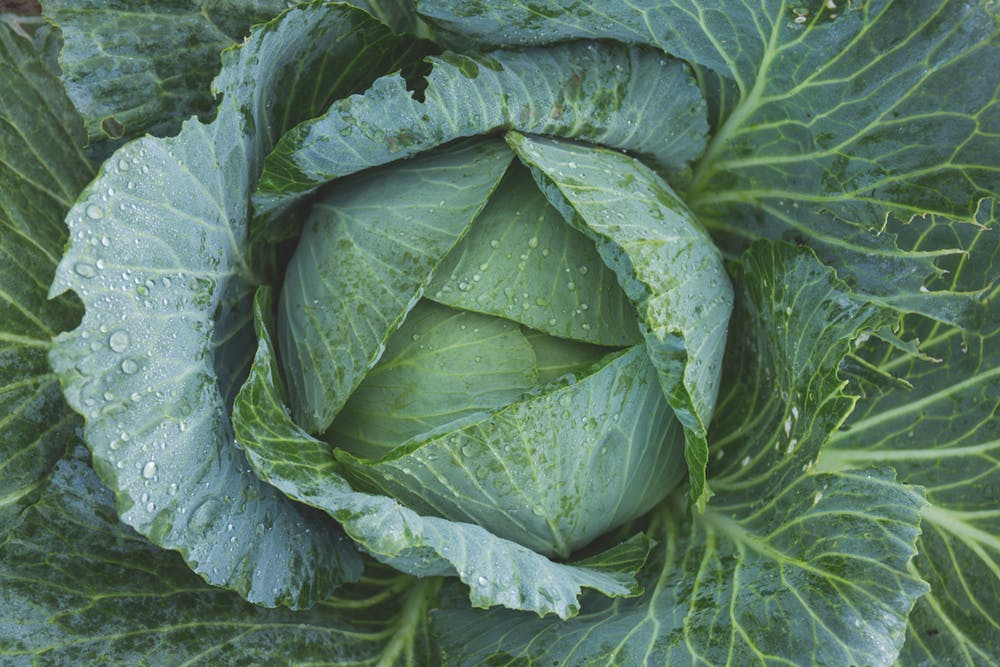 view of top of a green cabbage